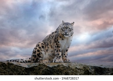 Snow leopard with long taill, sitting in nature stone rocky mountain habitat, Spiti Valley, Himalayas in India. Snow leopard Panthera uncia in the rock habitat, wildlife nature. Close-up wide angle.