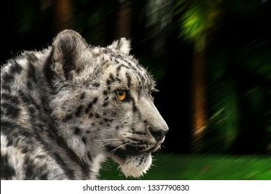 Snow leopard looking back. Latin name Panthera uncia.