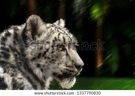 Snow leopard looking back. Latin name Panthera uncia.