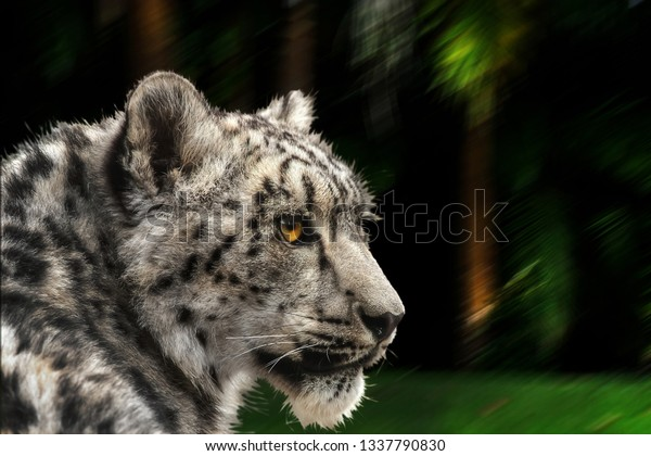 snow-leopard-looking-back-latin-600w-133