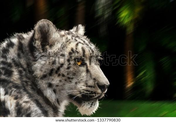 snow-leopard-looking-back-latin-600w-133
