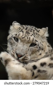 Snow Leopard Looking Direct at Camera