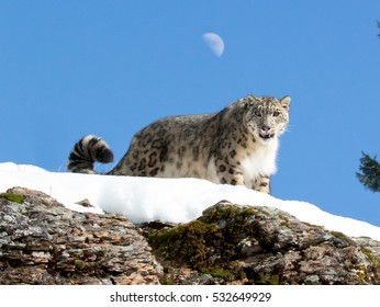 snow leopard looking over snow covered rock ledge into camera with blue sky and moon in background
