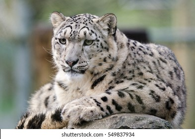 A snow leopard lounges on a rock