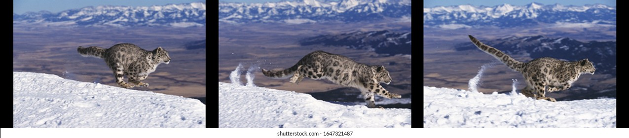 Snow Leopard or Ounce, uncia uncia, Adult running on Snow, Movement sequences