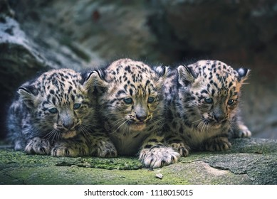 Snow leopard (Panthera uncia) 3 cubs on the stone.