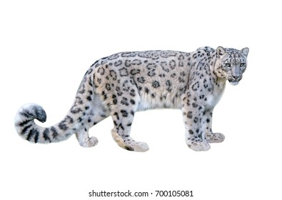 Snow leopard (Panthera uncia). Leopard, full figure with white background