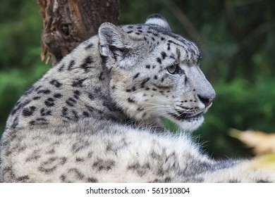 Snow leopard (Panthera uncia) magnificent animal, Hemis National Park, Kashmir, India. Wildlife scene from Asia. Detail portrait of beautiful big cat snow leopard, Panthera uncia. Animals in the rock.