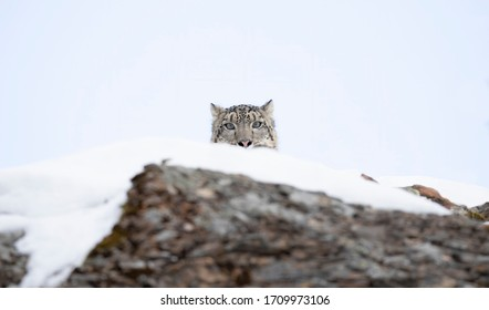 Snow leopard (Panthera uncia) peaking over the edge of a rocky cliff in winter