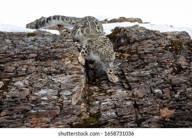 Snow leopard (Panthera uncia) walking on a rocky cliff in winter