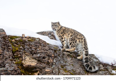 Snow leopard (Panthera uncia) walking on a snow covered rocky cliff in winter