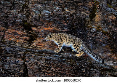 Snow leopard (Panthera uncia) walking on a rocky cliff in winter