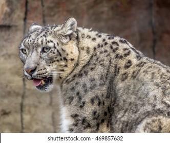 Schneeleopard Zoo Stock Photos Images Photography Shutterstock