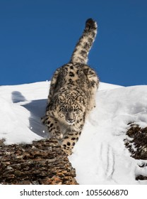 Snow Leopard playing in the snow