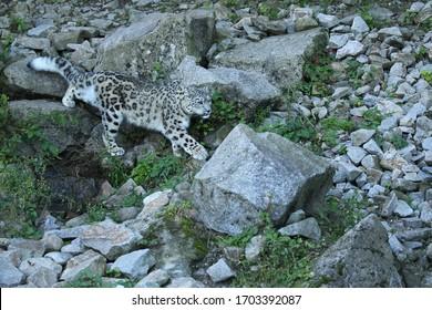 Schneeloparden Porträt in erstaunlichem Licht. Wildes Tier in der Natur. Sehr seltene und einzigartige wilde Katze. Irbis. Panthera uncia. Uncia uncia.