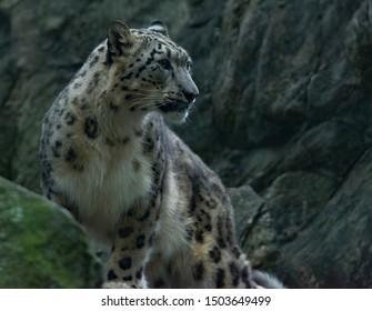 Snow Leopard posing side profile