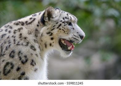 A Snow Leopard in profile