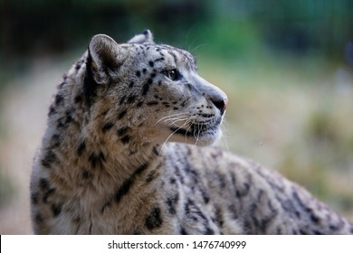 Snow leopard in profile on a background of nature