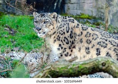 A Snow Leopard prowls