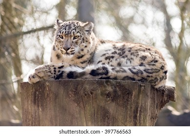 Snow leopard resting on a tree stump in a zoo behind a wire fence
