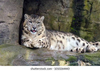 A Snow Leopard rests