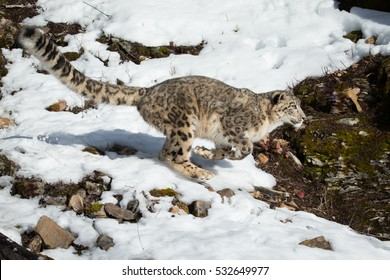 snow leopard running on snow covered rocky hillside