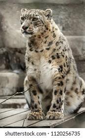 Snow leopard sitting on a wooden crossbar