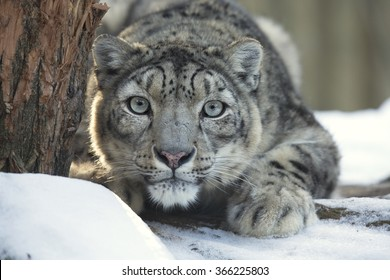 snow leopard, Uncia uncia, observing prey