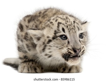 Snow leopard, Uncia uncia or Panthera uncial, 2 months old, in front of white background