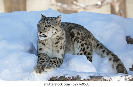 Snow leopard in winter