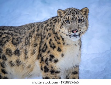 Snow leopard in winter snow. Snow leopards are a large cat native to the mountain ranges of Central and South Asia.