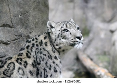 A Snow Leopard in a zoo in front of a rock wall