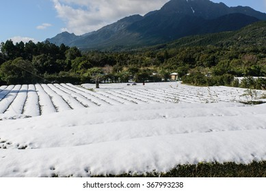 Snow lies on the tea plantation