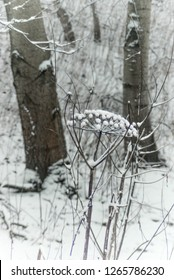 Snow loaded dried flowerhead  and stalk of common hogweed. Winter schenery in nature reserve 'de Riethoek' (Reedcorner), Amsterdam South-East, the Netherlands