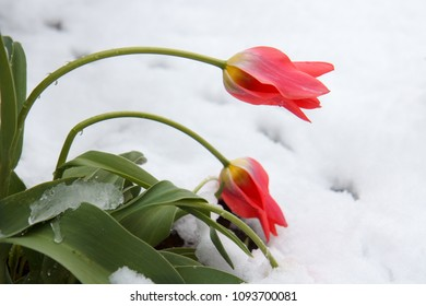 snow in May , red tulips in snow