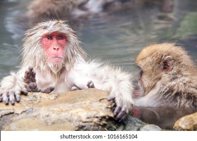 The Snow Monkey at the edge of the hot spring pool , Japan
