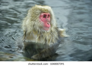 Snow monkey in hot spring. The Japanese macaque ( Scincific name: Macaca fuscata), also known as the snow monkey.