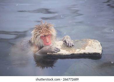 Snow monkey in hot spring, Jigokudani, Nagano, Japan