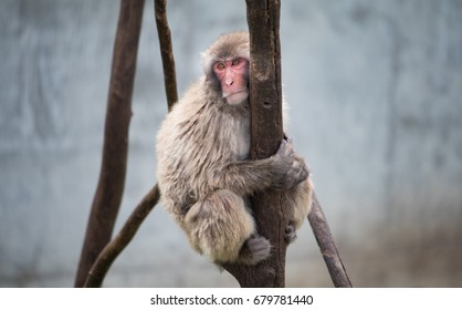 Snow Monkey / Japanese Macaque