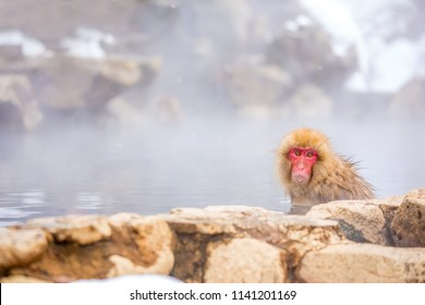 Snow monkey, Japanese macaque bathe in onsen hot spring at Jigokudani wild snow monkey park in Nagano Japan