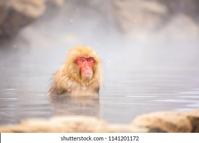 Snow monkey, Japanese macaque bathe in onsen hot spring at Jigokudani wild snow monkey park in Nagano Japan