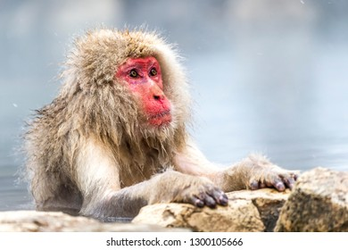 The Snow Monkey (Japanese macaque) enjoyed the hot spring in winter at Jigokudani Monkey Park of Nagano, Japan.
