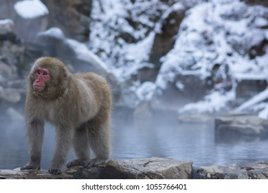 Snow Monkey (Japanese macaque) next to a hot spring staring at other monkeys