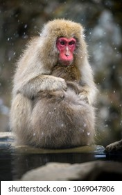Snow monkey (Japanese Macaque) in a snowstrom, Nagano, Japan
