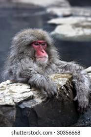 Snow Monkey at Jigokudani near Nagano, Japan