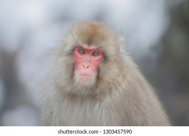 snow monkey in jigokudani snow monkey park nagano japan