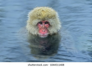 Snow monkey in natural hot spring. The Japanese macaque ( Scientific name: Macaca fuscata), also known as the snow monkey.