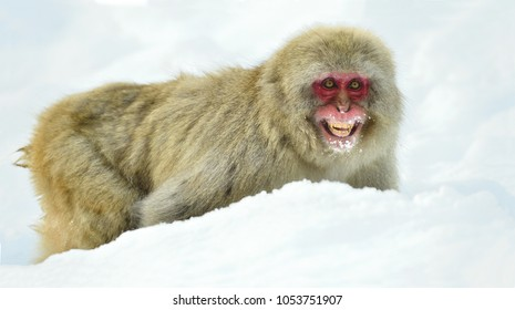 Snow monkey on the snow. Winter season.  The Japanese macaque ( Scientific name: Macaca fuscata), also known as the snow monkey.