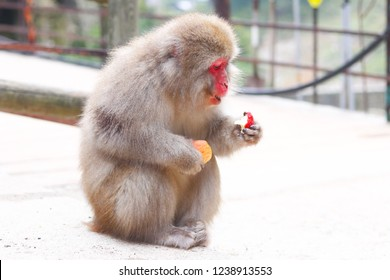 Snow monkey with red face holding and eating apple at Jigokudani Monkey Park, Japan
