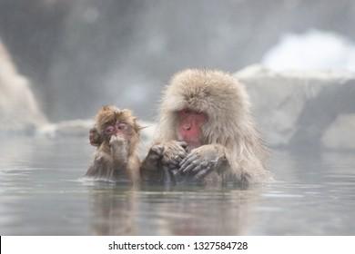 Snow monkeys bathing in an onsen